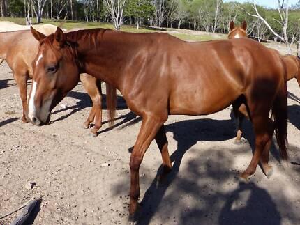 registered chestnut  quarter horse mare by campdraft champion