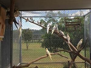 Breeding Cockatiel Clearance plus Winnower Texas Inverell Area Preview