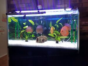 Discus large size ( 15 cm or over )