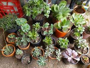 Awesome and assorted Succulents at budget price