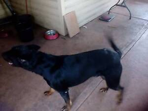 Free dog to good home Moorebank Liverpool Area Preview