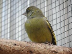 GREEN FINCHES Morphett Vale Morphett Vale Area Preview