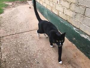female black a white cat