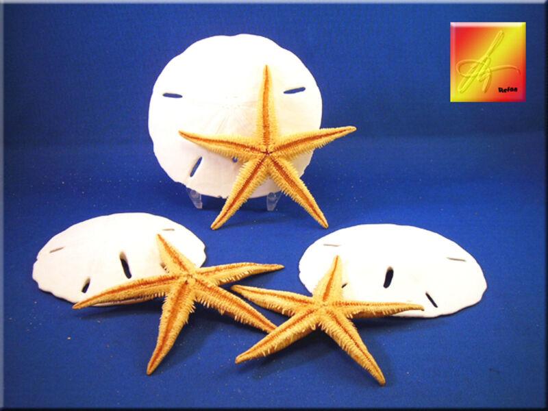 """3 Large White Sand Dollars and 3 Philippine Starfish Beach Wedding Decor 2-3""""."""