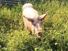 Pigs ( Breeding Pair ) Lismore 2480 Lismore Area Preview