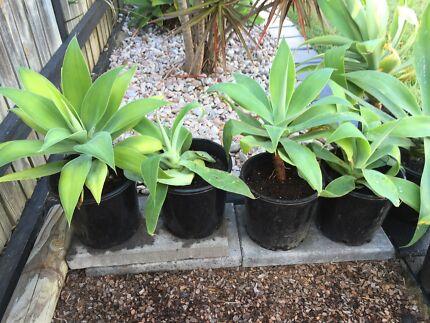 Drought Tolerant Succulent Plants