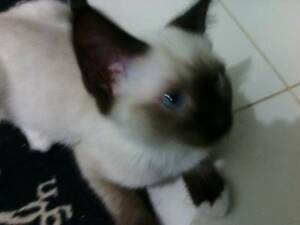 Ragdoll X Seal Point short hair Broadford Mitchell Area Preview