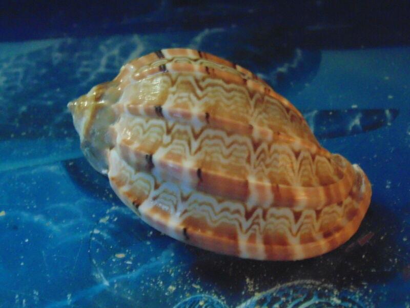 "TWO (2) 2 to 3"" HARPA DAVIDIS SEA SHELLS BEACH DECOR AQUARIUM TROPICAL"