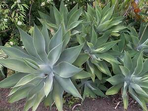 Agave Large Plants Petrie Pine Rivers Area Preview