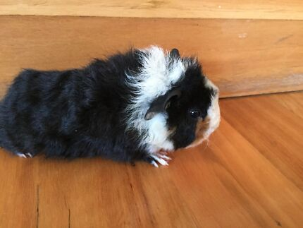 Male Guinea Pig - 5 weeks old (3 of 3) West Pymble Ku-ring-gai Area Preview