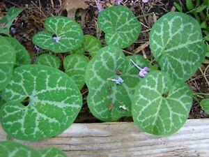 Aristolochia fimbriata - White-veined Dutchman's Pipevine 15 fresh seeds