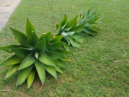 Medium to large Agave plants