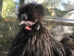 Bearded silkie rooster free!
