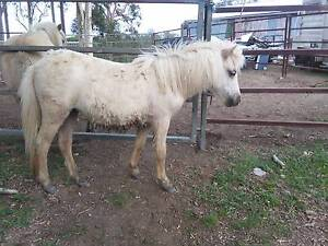 Palomino 1yo Miniature filly  for sale. Mothar Mountain Gympie Area Preview