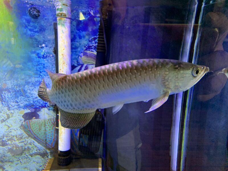 Arowana live fish