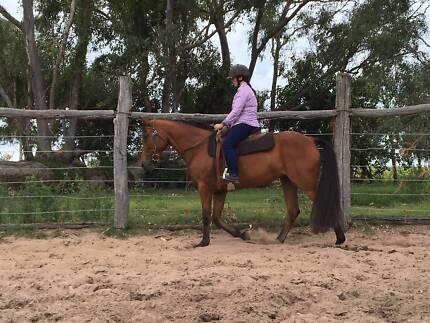7 yo Standard-bred mare