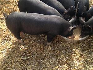 Berkshire Pigs Hamilton Southern Grampians Preview