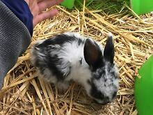 Netherland Dwarf Baby Rabbits Campbellfield Hume Area Preview