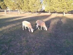 Wiltipol wether lambs Murray Bridge Murray Bridge Area Preview