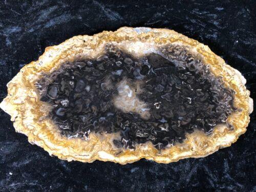 "Petrified Wood Psaronius Tree Fern, Athens County, Ohio Carboniferous 8.5"""