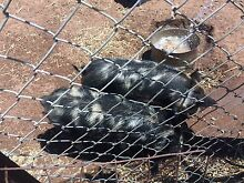 Piglets 6 months old Balaklava Wakefield Area Preview