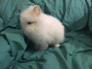 Double Mane Lionhead bunnies ONLY 2 Left DELIVERY AVAILABLE