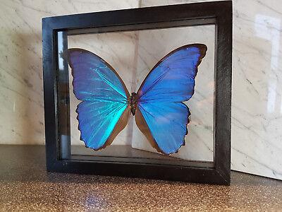 Morpho Didius Wunderschöner Schmetterling Schaukasten beidseitig UV-Schutz- Glas
