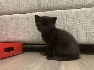 Black Ragdoll Female Kitten