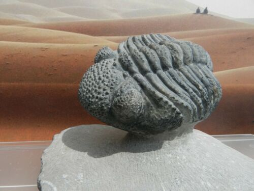 Drotops,sp semi-enrolled Trilobite Morocco