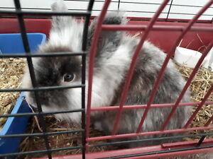 Lionhead bunny 50 shades of grey