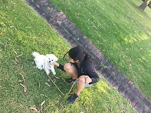 Tiny toy Maltese Shitzu puppy South Melbourne Port Phillip Preview