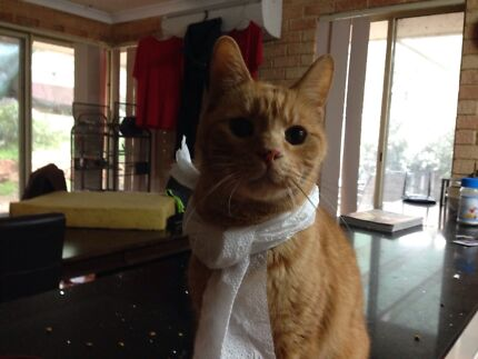 Lost Cat, Clarkson 6030 Clarkson Wanneroo Area Preview