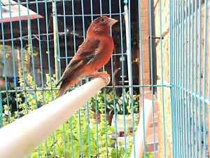 red siskin mule & crested norwich for sale Brighton-le-sands Rockdale Area Preview