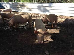 Chubby Piglets Litchfield Area Preview