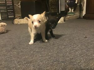 Long/short haired Chihuahua's