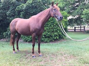6 year old stock horse mare Bellbowrie Brisbane North West Preview