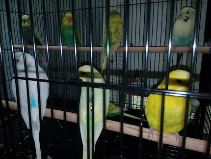 Breeding pair + young budgies  spangles  pieds