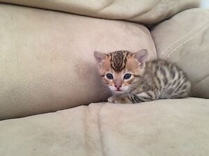 Female F6 Bengal Kitten