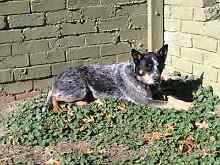 WANTED** blue or red heeler MALE puppy. Bakery Hill Ballarat City Preview