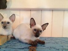 Beautifull Siamese and Oriental Kittens - Registered Breeder Caboolture Caboolture Area Preview