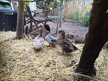 Trio of Call Ducks for sale Moonah Glenorchy Area Preview