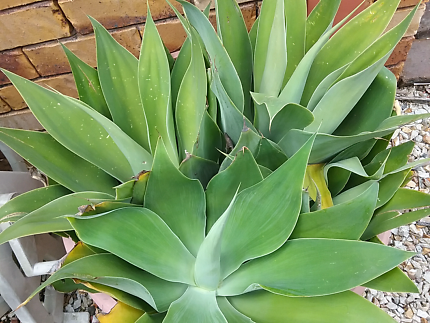 PLANTS - Agave and succulents