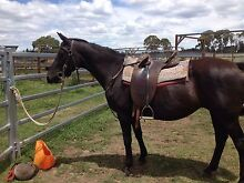 Black QH mare Guyra Guyra Area Preview
