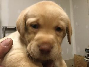 Pure bred Yellow lab puppies