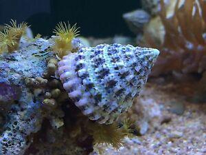 Turbo Snail Pack X5 Clean up Crew Algae Eater CUC for Coral Reef Marine Aquarium