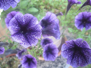 Petunie - Petunien - dunkellila/lila - Blumensamen - ca. 100 Samen