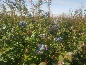 Blueberry pickers