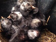Plymouth Rock chicks Boambee East Coffs Harbour City Preview