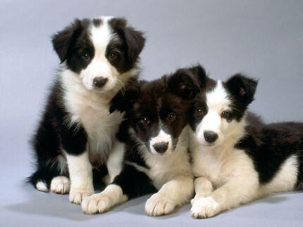 WANTED: Border Collie Purebred Pups x 2 Males Bracken Ridge Brisbane North East Preview