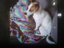 Missing female Jack Russell Terrier from Pascoe Vale. Pascoe Vale Moreland Area Preview